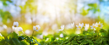 Beautiful Field Of Anemone Wild Flowers In Sunlight. Spring Forest Landscape With Fresh Windflowers Outdoors. Nature And Environment Ecology Concept.