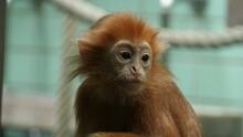 Close Up- Javan Lutung Monkey 4K
