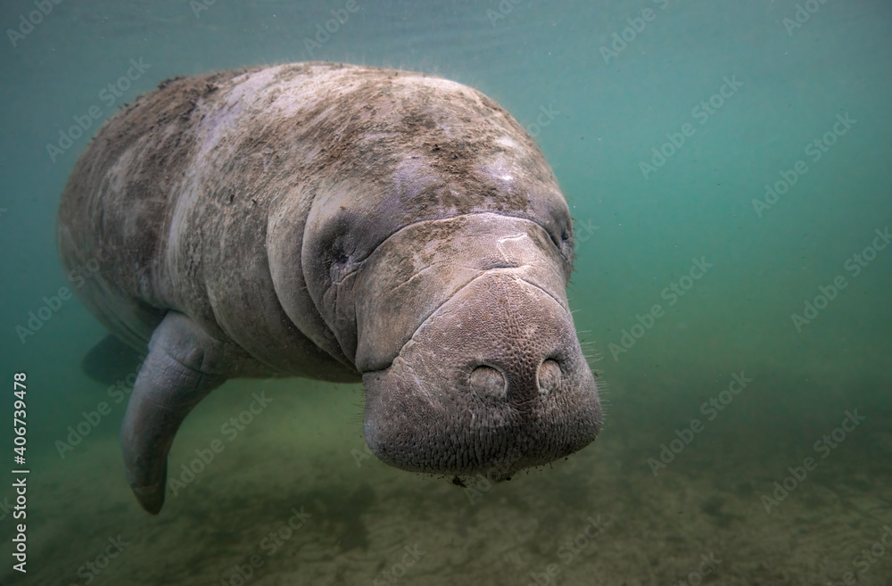 Fototapeta A manatee underwater in Florida