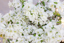 White Bougainvillea Flower Bloom With Sunlight On Blur Nature Background.