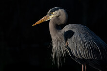A Great Blue Heron In Florida