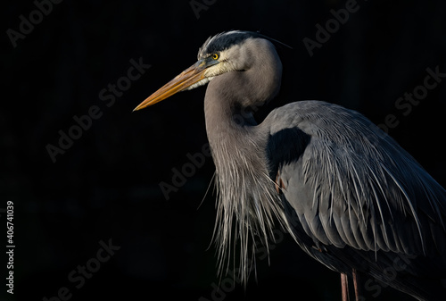Fotografía A great blue heron in Florida