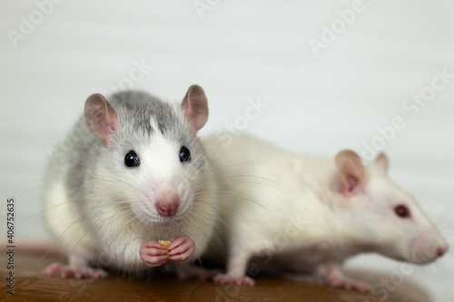 Fototapeta Closeup of two funny white domestic rats with long whiskers.
