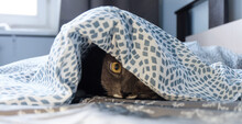 A Grey Cat Hiding And Peeking Out From Under The Covers In A Bed