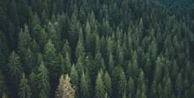 Panoramic View Of Evergreen Pine Wood