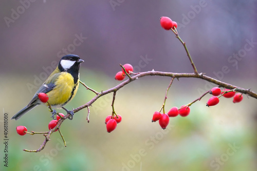 Tablou Canvas Great tit, parus major, sitting on rosehip in autumn nature