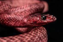 Western Coachwhip Snake (Masticophis Flagellum Testaceus) Portrait