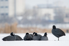 Coots In Captivity Of Frosty Weather