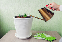 Gardener Watering Tulips In Pot Using Modern Golden Watering Can At Home. Spring Flowers Growing.