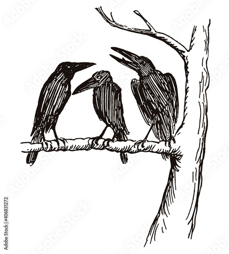 Fototapeta premium Three ravens sitting on a branch in a row. Illustration after a drawing from the 19th century