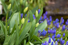 Tulip Buds And Purple Hyacinth Flowers Blooming In Spring