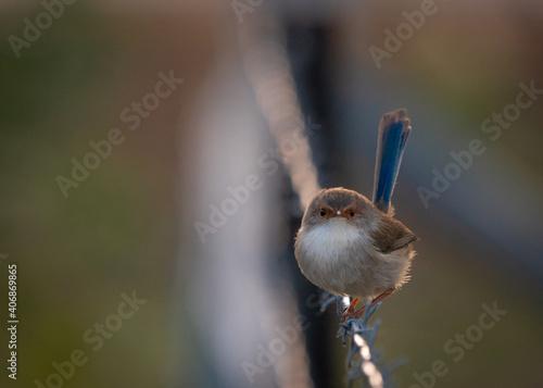 Female blue fairy wren Fototapeta