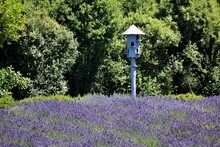 New Zealand, Lavender Farm Is Just A Few Minutes From Wanaka. You Can Enjoy 20 Acres Of Beautiful Lavender Fields And Display Gardens There. Purple Flowers And Flying Bees Are Everywhere Around You!