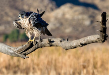 Peregrine Falcon Fluffing Up His Feathers On A Bare Branch In The San Jacinto Wildlife Area Lear Lake Perris
