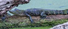Juvenile Alligator On A Log