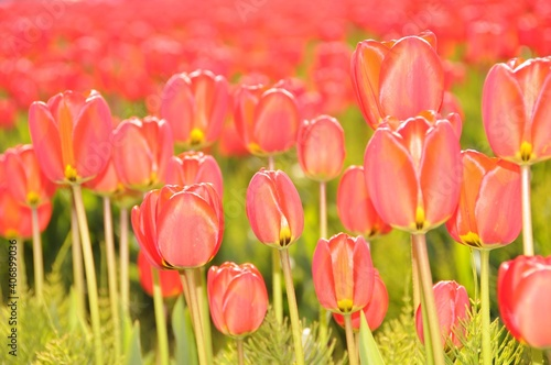 Fototapety, obrazy: Field of red tulips at Rozengaarde, Mt. Vernon, Washington state, USA. Selective focus.