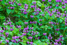 Purple Flowers Of Lamium Maculatum Creeping Groundcover Plant