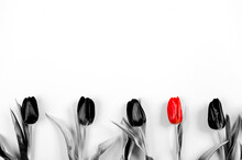 Several Black And One Red Tulips Are Lined Up In A Row On White Paper Background With Copy Space, Text Place. Banner For Advertising Flower Shop. Layout For Holiday Card. Five. Gift Certificate