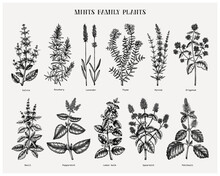 Mint Family Plants Illustrations. Hand Sketched Aromatic And Medicinal Herbs Set. Botanical Design Elements. Herbal Tea Ingredients. Mints.