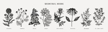 Medicinal Herbs Collection. Vector Set Of Hand Drawn Summer Herbs, Wild Flowers, Weeds And Meadows. Vintage Aromatic Plants Illustrations. Herbal Tea Ingredients.Botanical Elements In Engraved Style.
