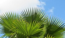 Palm Tree Branches On Blue Sky