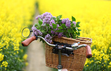 Bike With Basket With Flowers Against Rapeseed Field