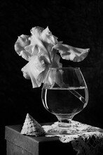 Black And White Still Life With White Iris Flower And Shell