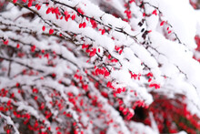 Red Barberry Berries Under Snow. Branches Of Barberry With Thorns. Selective Focus. Natural Snowy Winter Background. Nature Park During A Snowfall. Postcard, Banner, Flyer, Copy Space.