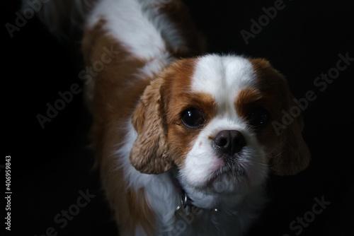 Obraz na plátně King Charles Cavalier Spaniel Puppy