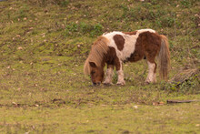 Little Pony Eating Hay Out In The Nature.