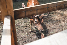 Sika Deer Female Eating Grass