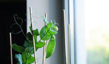 Vegetable Garden On The Window - Green Peas