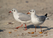 Closeup Of Black-headed Gulls At Busaiteen Coast, Bahrain