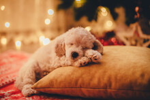 Cute Poodle Puppy Sleeping On A Pillow Under A Christmas Tree