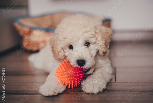 Cute poodle puppy playing with a toy Fototapet