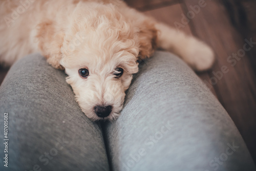 Tablou Canvas Cute poodle puppy lies on the lap of the hostess