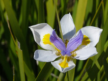 Close Up Of The Wonderful Blue And White Large Wild Iris Or Fairy Iris, In Latin Dietes Grandiflora