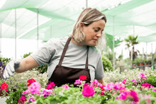 Blonde Woman Looking At Geranium Plants In Garden Or Greenhouse. Professional Female Gardener In Aprons Working With Blooming Flowers In Pots. Selective Focus. Gardening Activity And Summer Concept