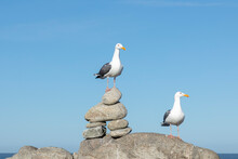 California Gulls Rest At The Rocky Coast Rests At The Rocky Coast
