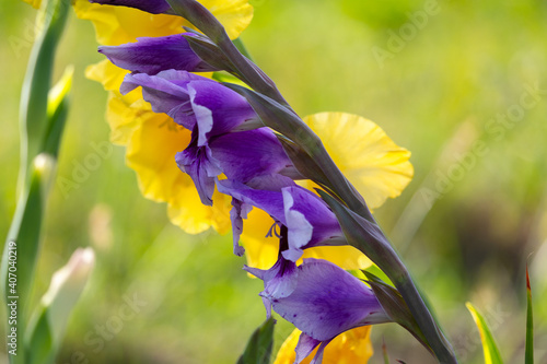 Fotografie, Tablou colorful gladioli growing in the garden close up