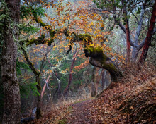 Old Twisted Tree Hangs Over The Trail