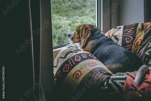 Fotografía a beagle dog lies on a pillow and looks thoughtfully out the window, it is raining outside