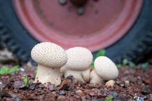 Common Puffball Mushroom On Gravel