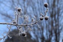 Crape Myrtle Last Year Seed Buds