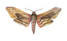 Hawk Moth Sphinx Ligustri. Butterfly Night. Watercolor Illustration. Hand Drawn Design For Cards, Stickers, Posters, Mugs.
