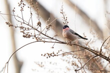 Eurasian Bullfinch On The Branch