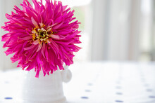 Beautiful Cut Pink Zinnia In A White Vase On Blue And White Polka Dotted Tablecloth, Indoors On A Sunny Day