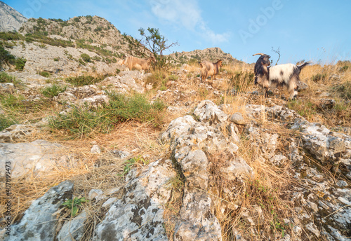Fotografie, Tablou Mountain goats on a rocky hillside on a sunny afternoon,Kotor,Montenegro