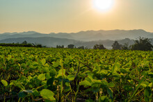 Soybean Planting Plots On The Hill During Sunset With Mountains Layers Are Background At Mae Sariang District Mae Hong Son Province Thailand.