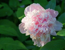 Magnificentand And Vivid Fresh Sarah Bernhardt Peony Flower On Foliage Green Background In The Morning Sun Close Up.
